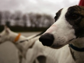 Tucson Greyhound Park hosts dog race