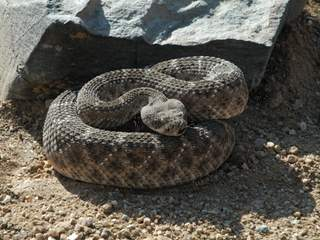 Rattlesnakes evolving, losing rattles