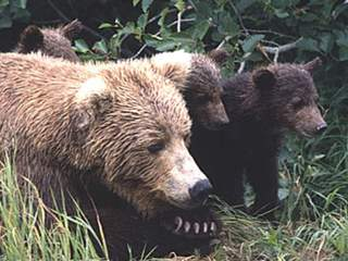 Brown_bears_20120724153658_JPG