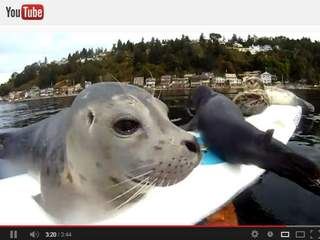 Seals_on_windsurf_board_20130312072341_JPG