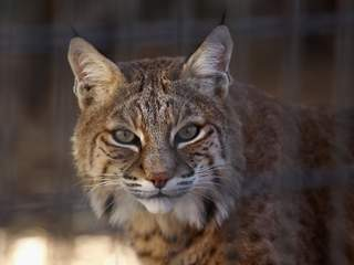 Officials kill bobcat that attacked 4 by Sedona