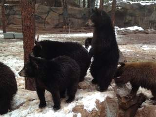 Bear spotted on Mt. Lemmon moved to Bearizona