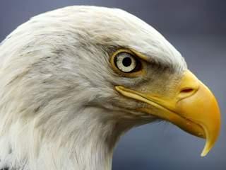 Bald eagle population in Arizona on the upswing