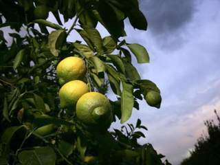 Federally proposed lemon rule worry some in Yuma