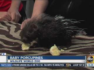 Cute! Baby porcupine at Wildlife Zoo