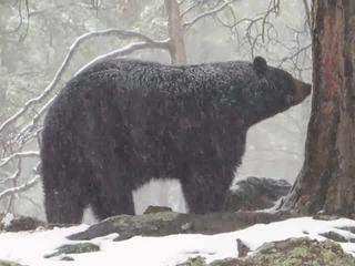 VIDEO: Bear enjoys rare snowy spring day in AZ