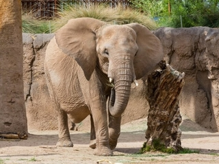 WATCH: Tucson zoo elephant due to give birth