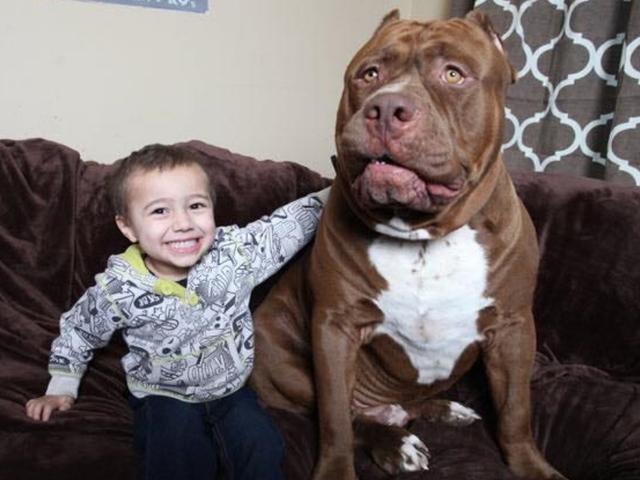 American Bully Daily Hulk Biggest Pitbull