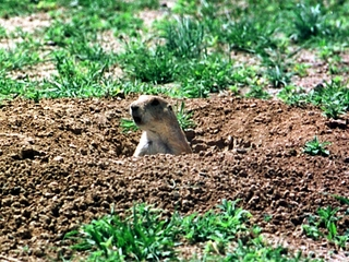Prairie dog holes dusted to prevent plague