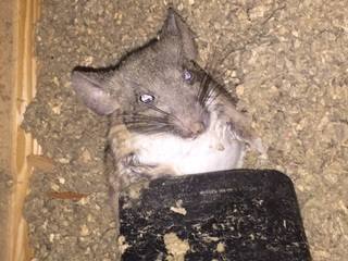 Valley company seeing huge increase in roof rats