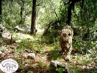 WATCH: Only known US jaguar roaming AZ mountains