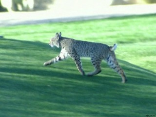 VIDEO: Bobcat spotted at Phoenix Open
