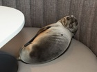 Malnourished seal found sleeping in restaurant
