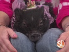 How micro pigs make great pets