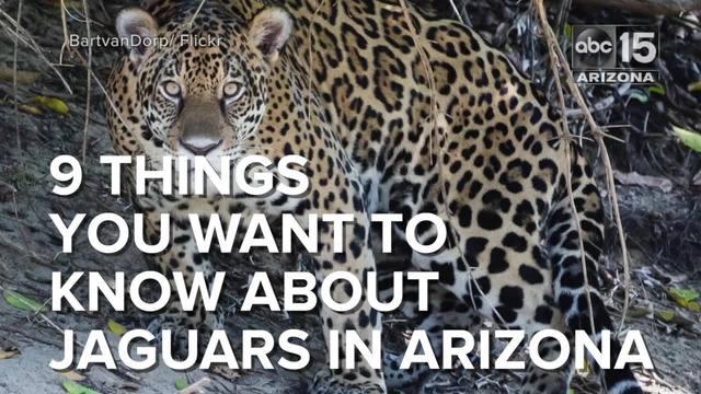 Jaguar Spotted Near Sierra Vista Abc15 Arizona
