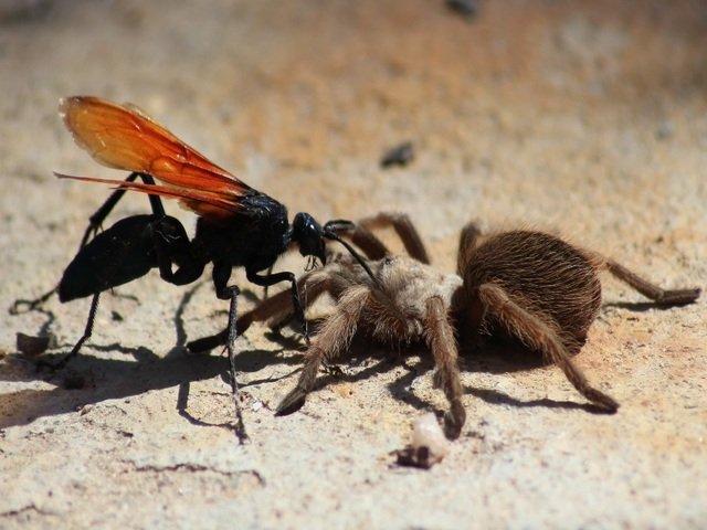 6 things to know about tarantula hawk wasps with 'traumatically ...