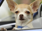 Get your Chihuahua spay/neutered for free!