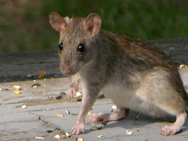 Gilbert, Scottsdale And Tempe Make Terminixu0027s Top 10 U.S. Cities With Roof  Rat Problems