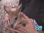 2-month old male Wallaby