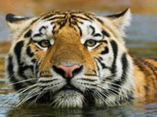 LSU's tiger diagnosed with rare form of cancer