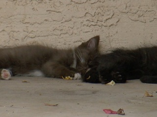 Groups to help Chandler neighborhood's cat issue