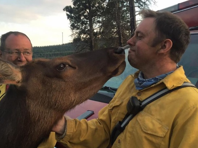 Friendly orphaned elk snuggles up to firefighters  ABC15 Arizona