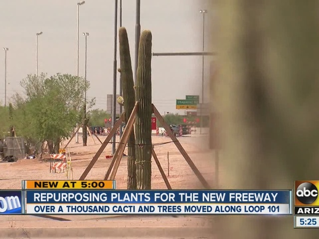 ADOT replanting more than a thousand cactus, adding more