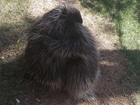 Porcupine son, dad hug after being separated