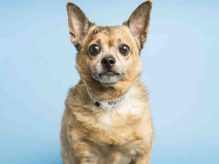 Spunky senior Chihuahua looking for a home