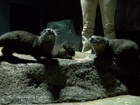 Aww! Meet the young otters at Odysea Aquarium