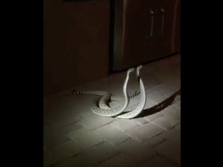 Video catches rattlesnakes' fight for dominance
