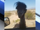 Emu seen running on I-10 near Phoenix