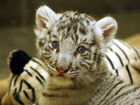 360º VIDEO: Hang out with Zoo's baby white tiger