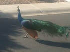 Peacock led Gilbert PD on 'hot pursuit'
