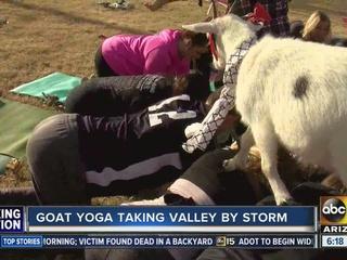 Forget Bikram yoga! Try goat yoga in Gilbert