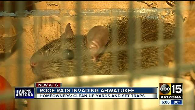 Superb Ahwatukee Neighbors Gather To Share Tips About Fighting Roof Rats