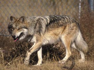 Seen them? 44 endangered, threatened AZ animals