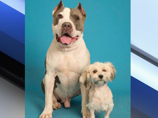 Pit bull blood donor saves miniature poodle