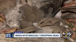 Dozens of dead birds pop up in Buckeye
