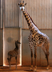 Aw! Baby giraffe born at Phoenix Zoo
