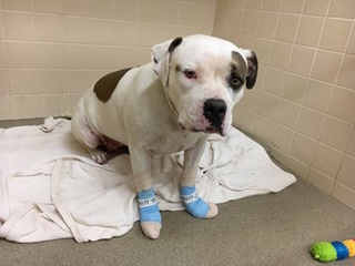 Dog with burnt paws looking for forever home