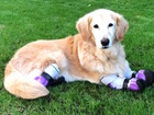 Dog with prosthetic legs inspiring amputees