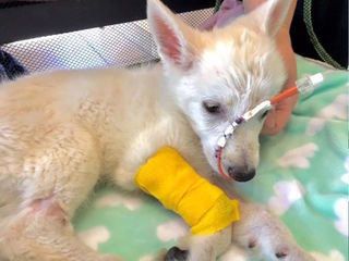 Husky pup continues road to recovery