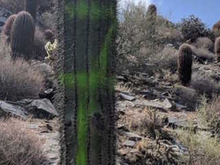 Saguaro cacti vandalized on Cave Creek trail