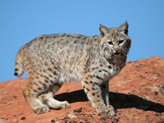 Bobcat euthanized after attacking Bisbee man