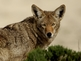 Valley community on alert after coyote sightings