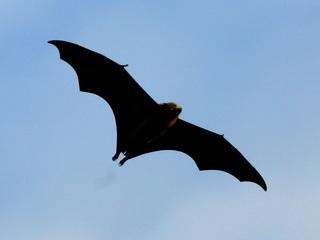 Grand Canyon visitors see uptick in bat activity