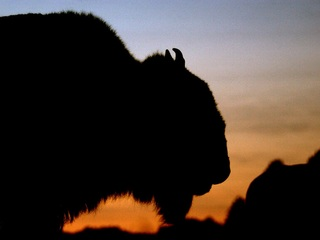 Grand Canyon busy with bison shooter applicants
