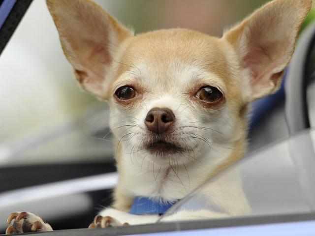 Free Spay Neuter For Chihuahuas Through May 31 Maricopa County Residents At Altered Tails
