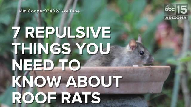 Elegant VIDEO: 7 Repulsive Things You Need To Know About Roof Rats
